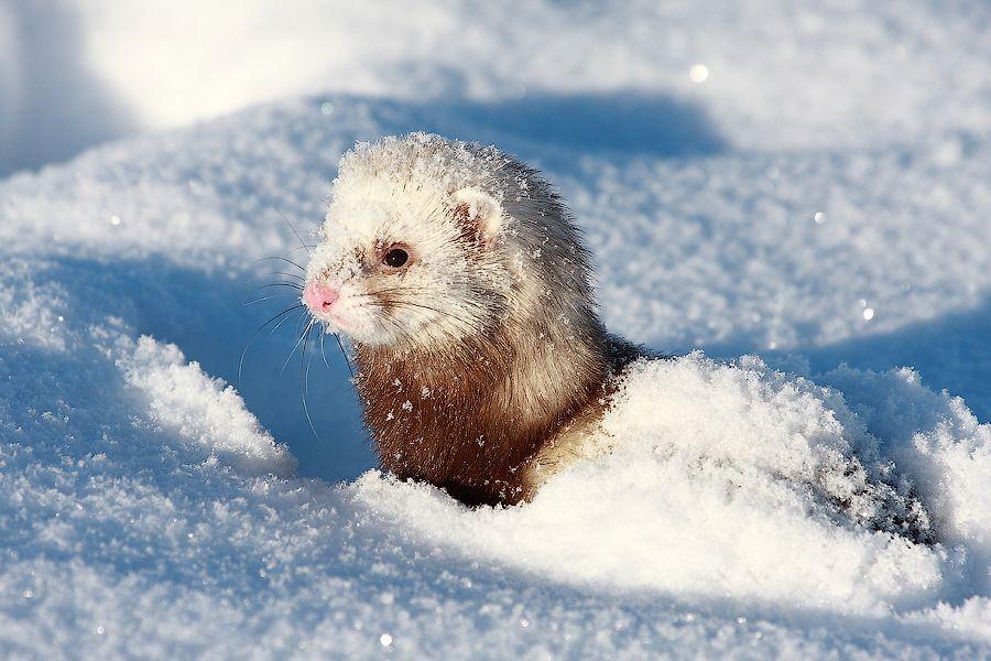 1. Snowy ferret by Stas Kochkin