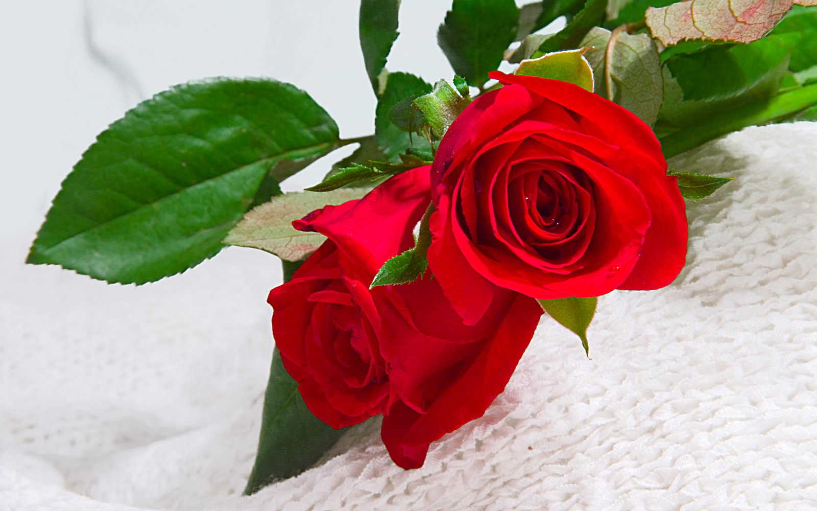 Beautiful Flowers Roses Wallpaper