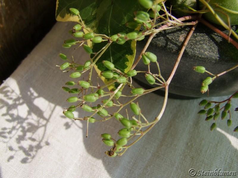grüne Holunderbeeren