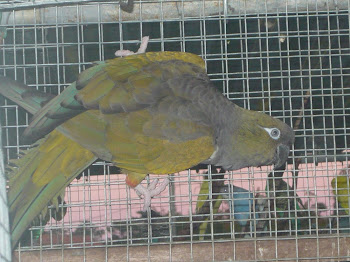Papagaio da patagónia
