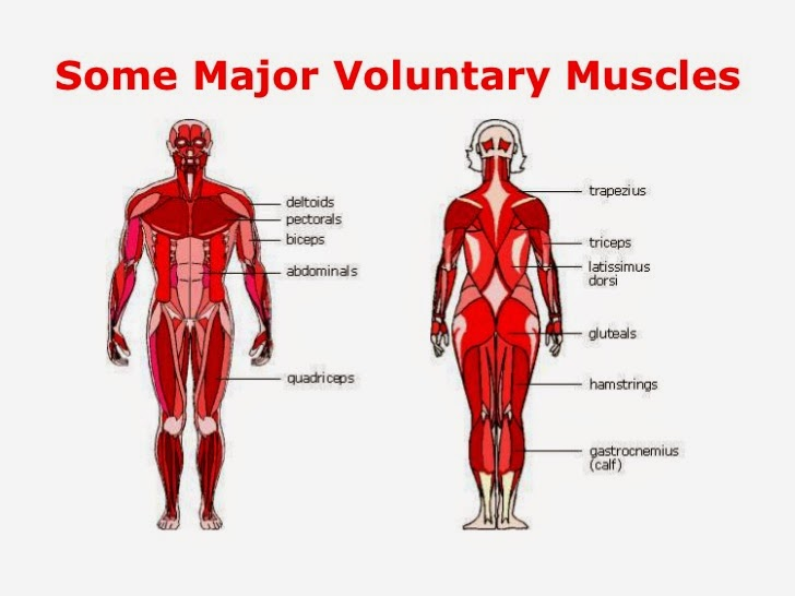 scienceandenglish3primary: unit 4 the skeletal and muscular systems, Human Body