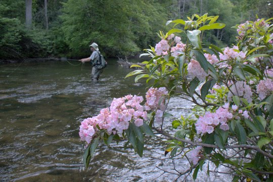 Photo of the Month: Mountain Laurel on Abrams Creek