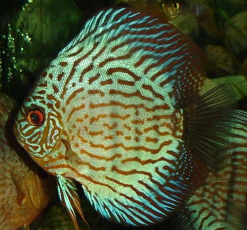 Criadero de peces ornamentales for Criadero de peces ornamentales