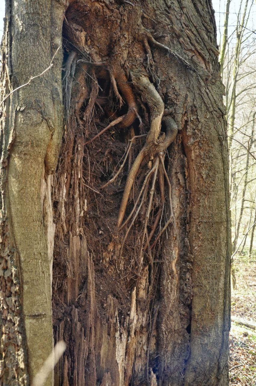 korzenie wyrastające w pniu starego drzewa