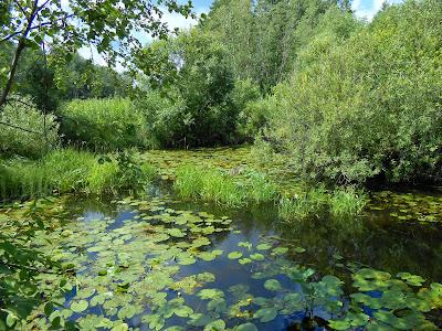 Желтые кувшинки в реке