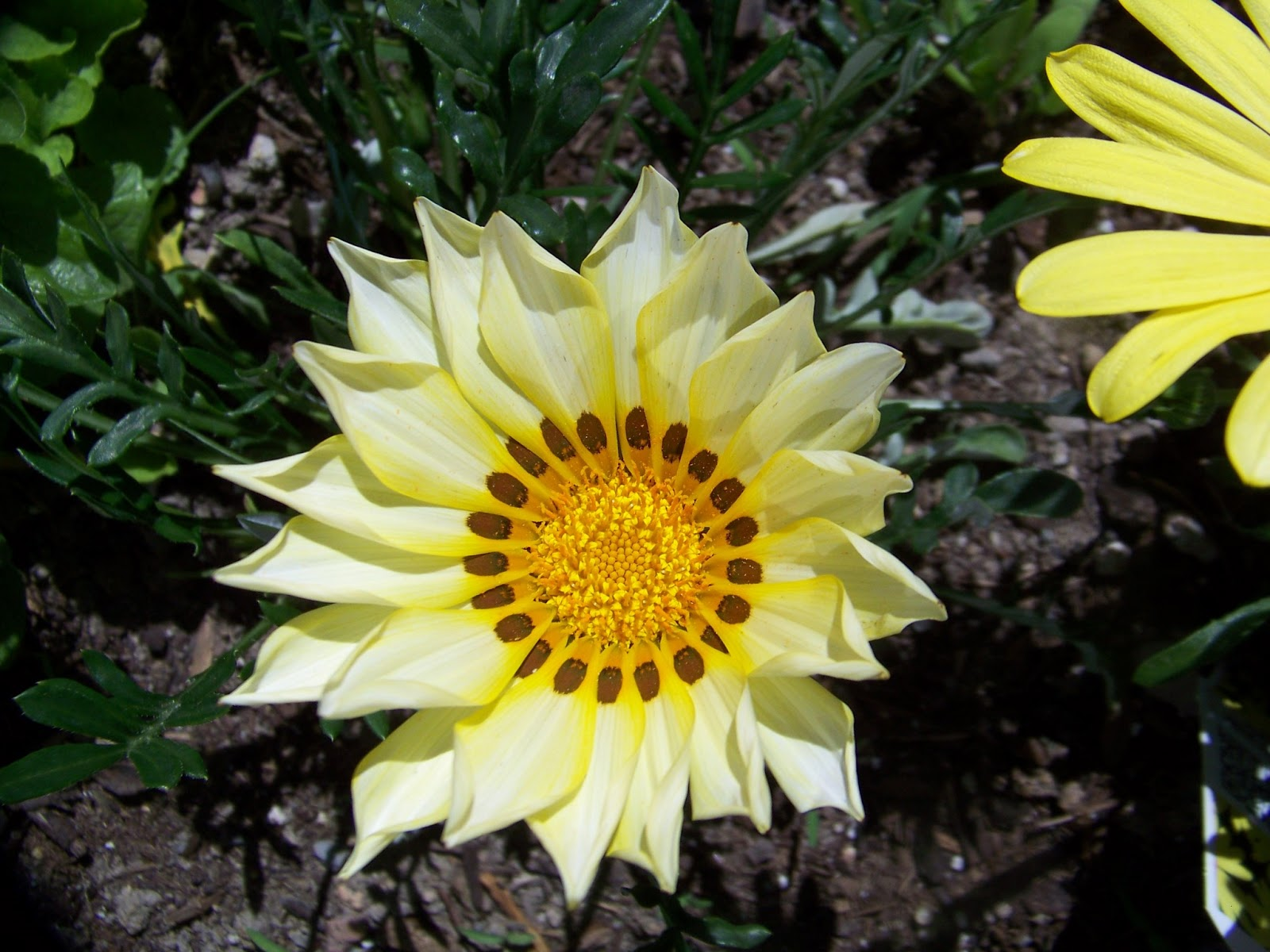 Garden girls year of health the treasure flower the have large daisy like composit flowers they will flower throughout the summer they are often planted as drought tolerant ground cover izmirmasajfo