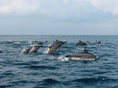 Pesona Keindahan Teluk Kiluan, Teluk Kiluan Lampung Selatan, Lampung, Bandar Lampung, Teluk Kiluan, lumba-lumba Teluk Kiluan, lumba-lumba, doplhin, doplhins, gerombolan lumba-lumba