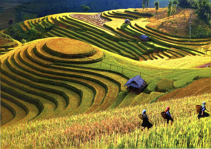 Terraced farms mu cang chai vietnam great panorama picture for Terrace cultivation