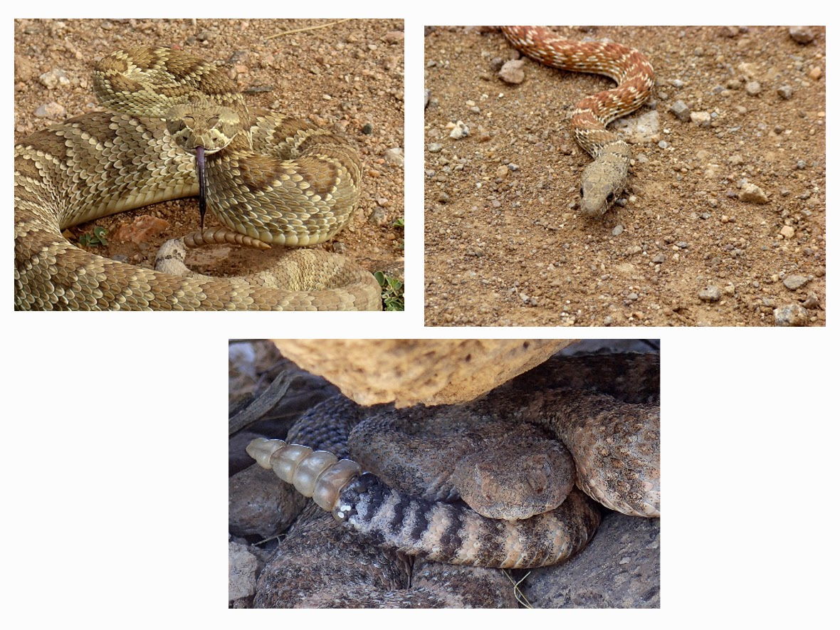 3 Mohave Desert Snakes common to the White Hills - Mohave and Speckled Rattlesnake and a Red Racer