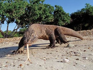 Binatang Komodo