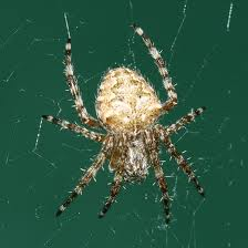 Barn Spider picture