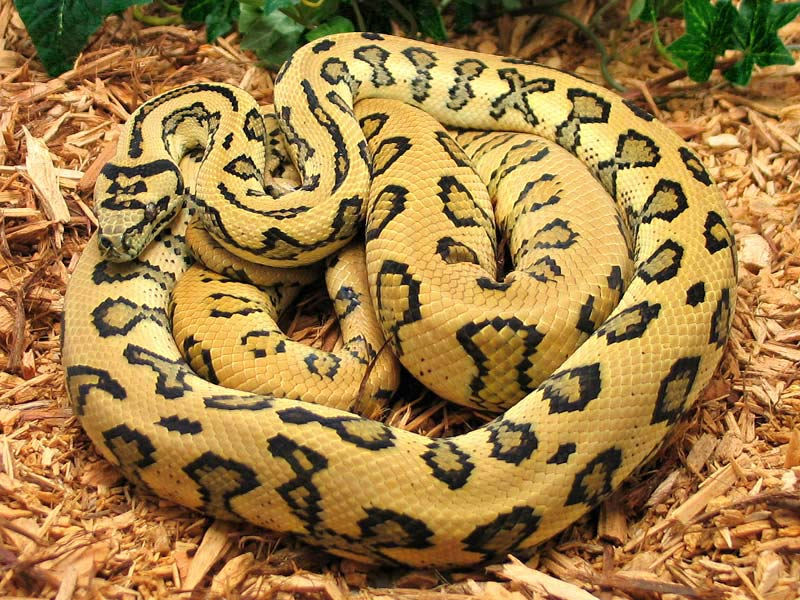 Jungle Carpet Pythons - Reptile Territory