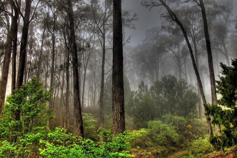 fog forest woods