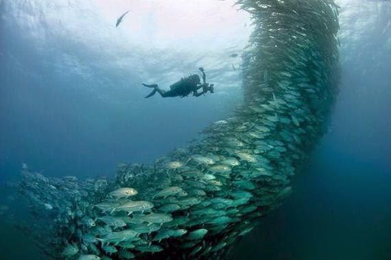 impresionante baile subacuatico de peces gato