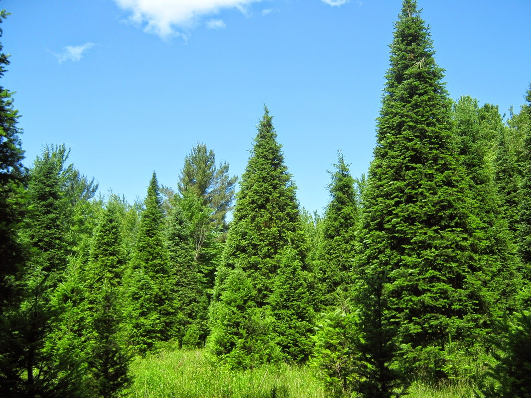 Benefits Of Balsam Fir (Abies Balsamea) For Health
