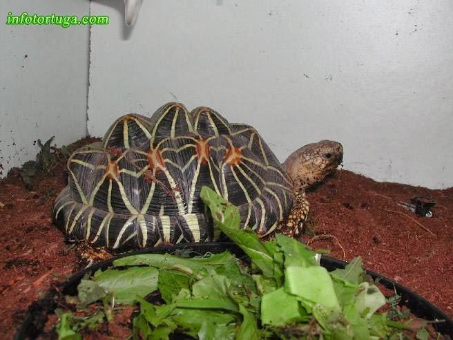Geochelone elegans - Tortuga estrellada