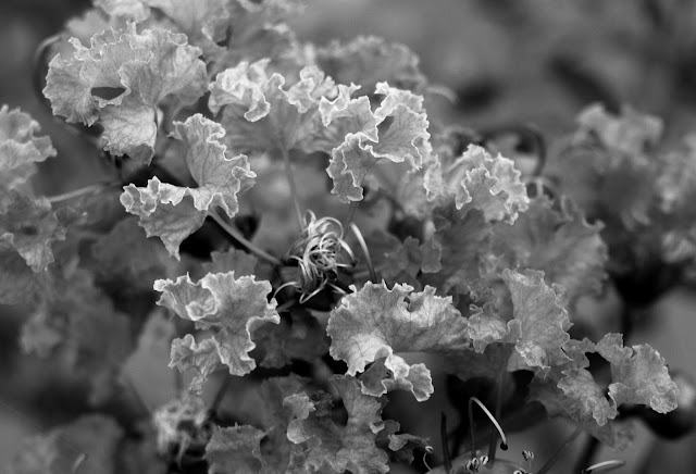 Queen's Crape-Myrtle in B&W | Panasonic G1