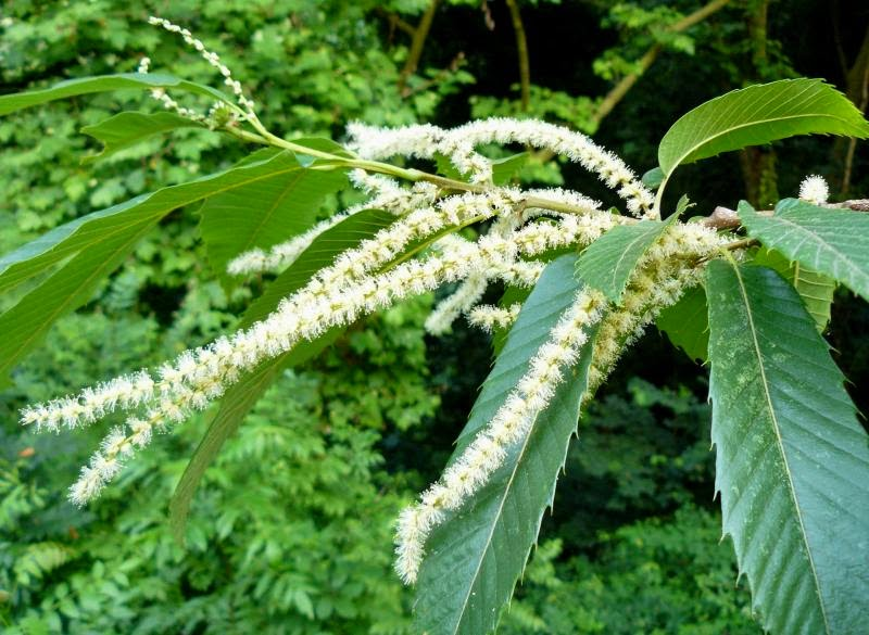 Tu Salud Para Siempre: Flores de Bach - SWEET CHESTNUT (Castaño Dulce): Angustia mental extrema