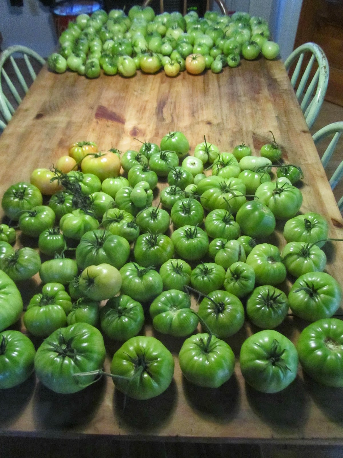 Harvest of Green Rutgers & Sicilian Saucer tomatoes on the farm table
