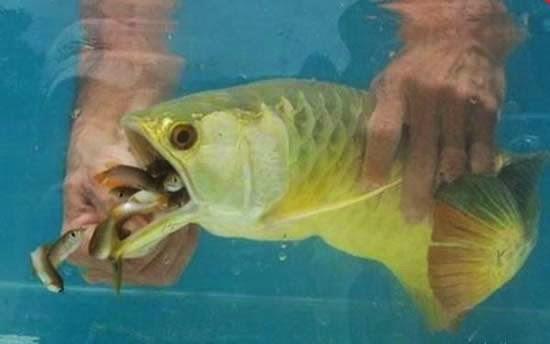 Ikan Arwana Yang Menarik