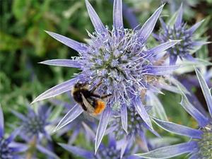 Bees love eryngium