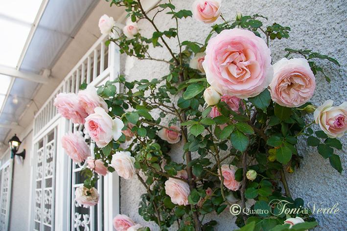 Quattro toni di verde monsieurs et dames pierre de for Pierre de ronsard rosa