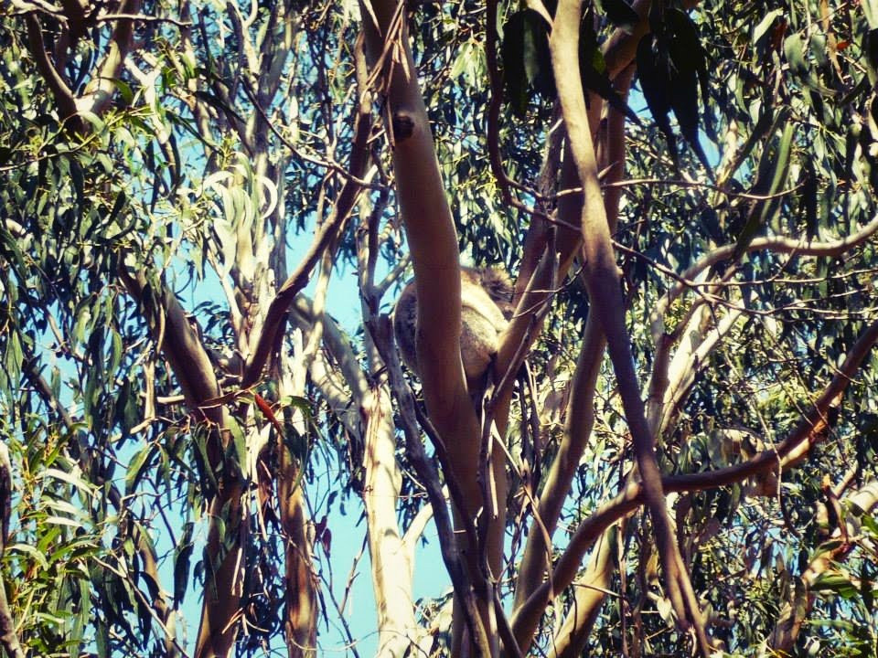 koala kangaroo island australia