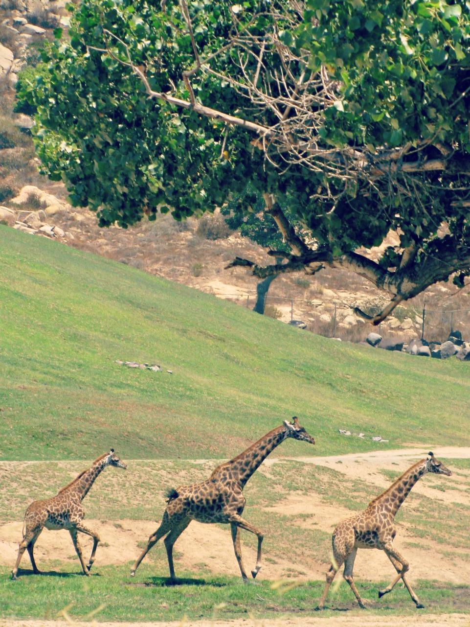 San Diego Safari Park // Running Giraffes
