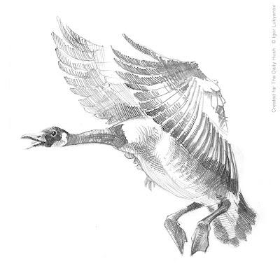 low flying wild duck