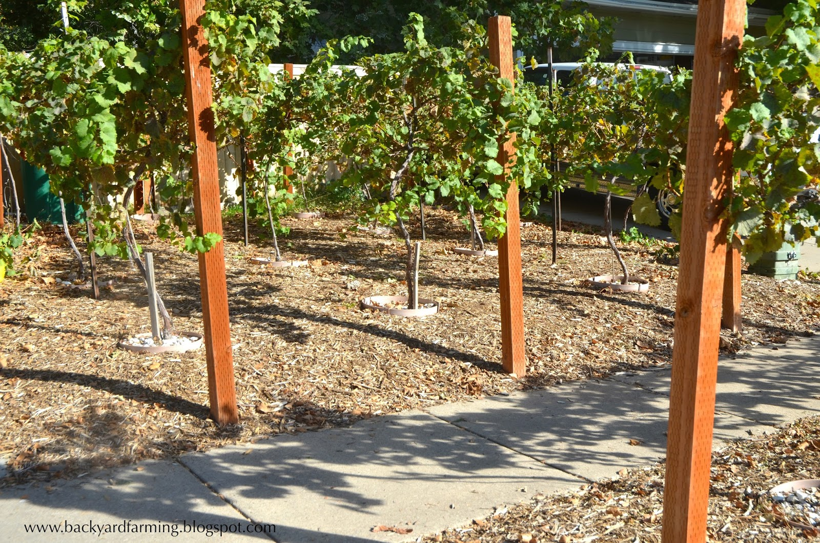 backyard farming another use for parking strip grape vines