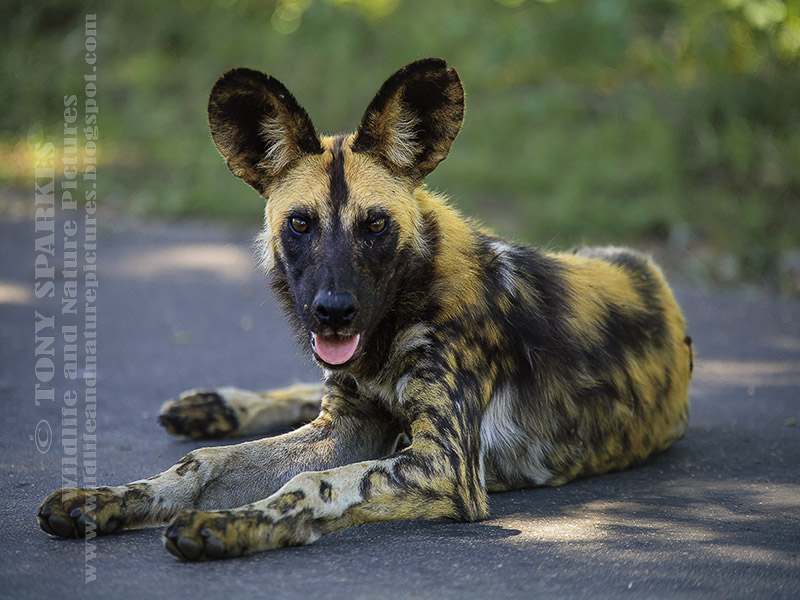 Picture of a African Wild Dog (Lycaon pictus) sat on the road in South Africa's Kruger National Park