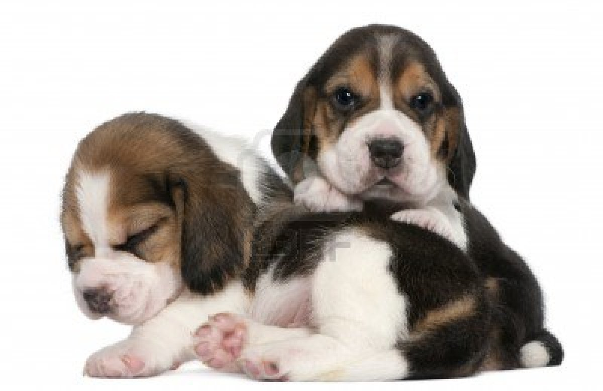 Amazing Two Beagle Adorable Dog - 8972608-two-beagle-puppies-1-month-old-in-front-of-white-background  Best Photo Reference_603969  .jpg