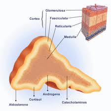 overview of adrenal glands essay An essay or paper on the endocrine system among those responsible for hormone production are the glands thyroid, thymus, parathyroid, and adrenal.