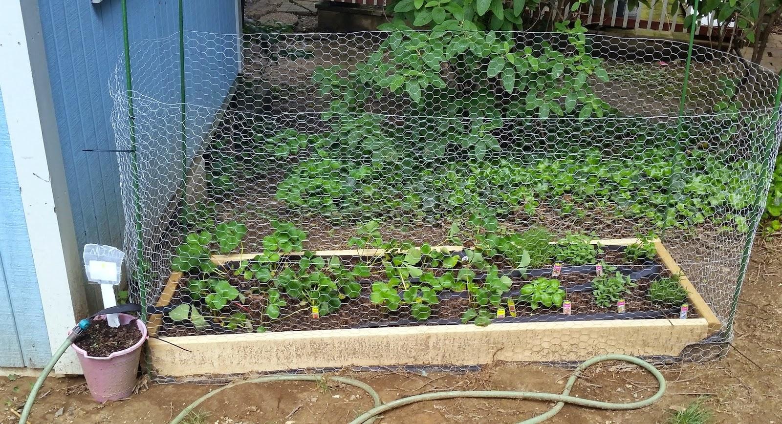 ben 39 s journal gardening progress more chicken wire drip hoses and a tea garden