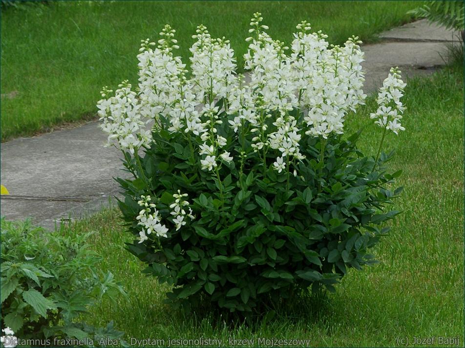 Dictamnus fraxinella 'Alba' - Dyptam jesionolistny, krzew Mojżeszowy pokrój