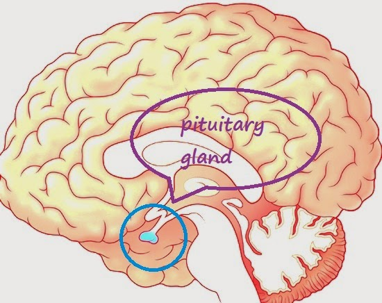 letak-kelenjar-pituitary-gland-anatomi