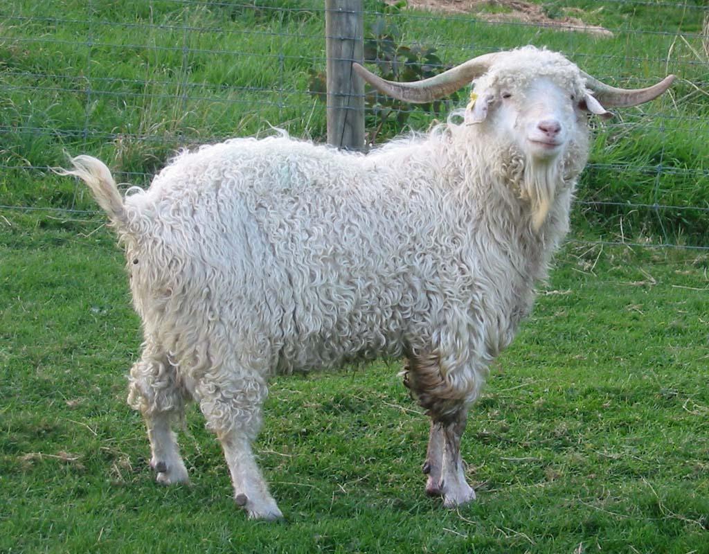 angora goat, angora goats, grooming angora goats, how to groom an angora goat