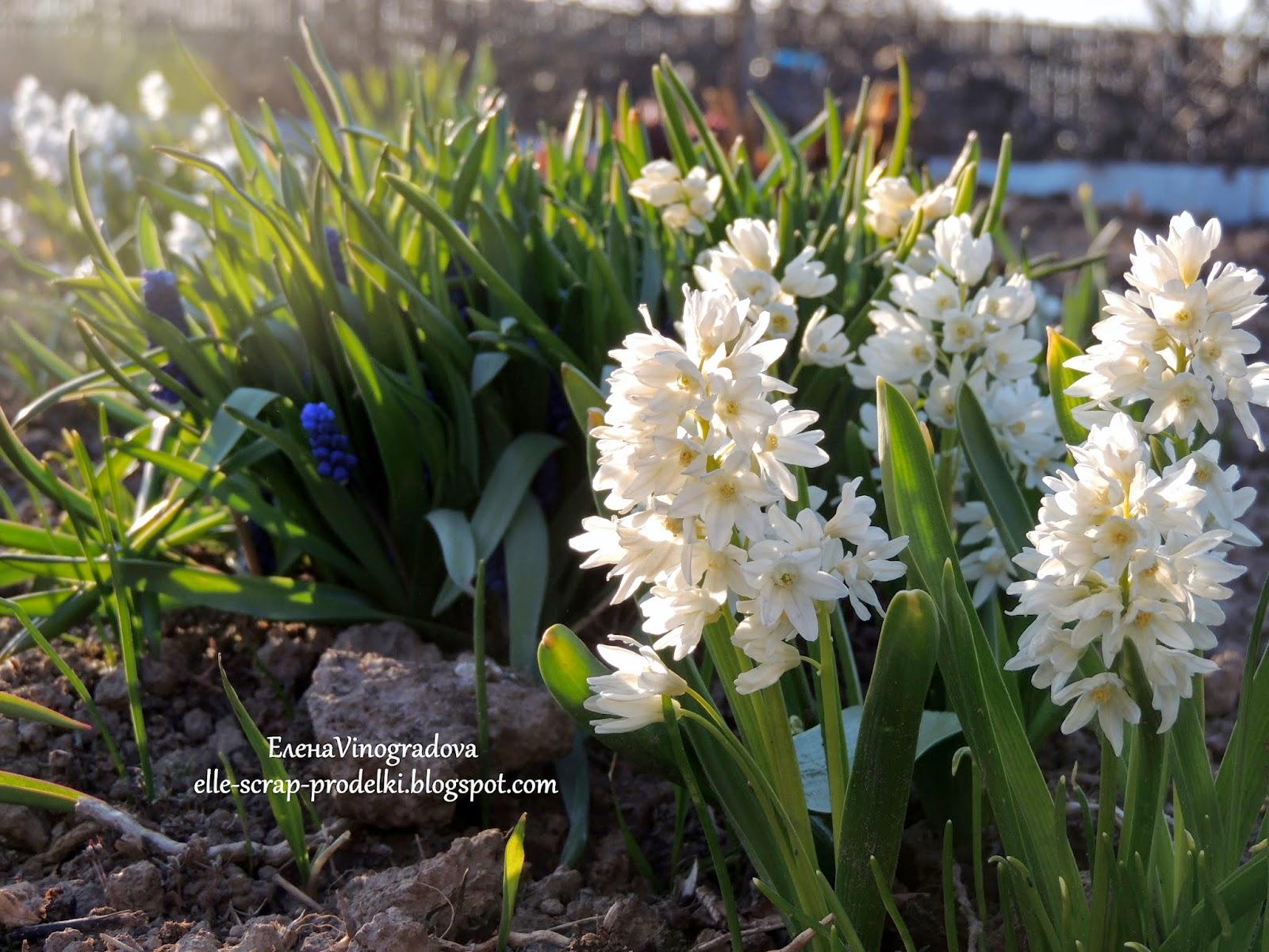 ЕленаVinogradova. Цветы нашего сада #7
