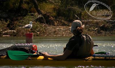 foto en caiac a un gavià argentat