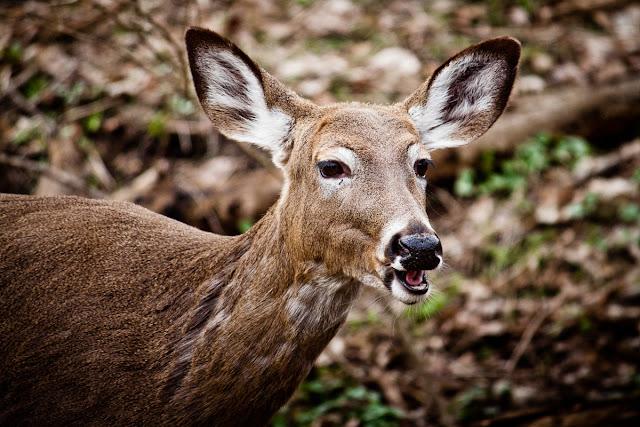 Trumansburg Deer