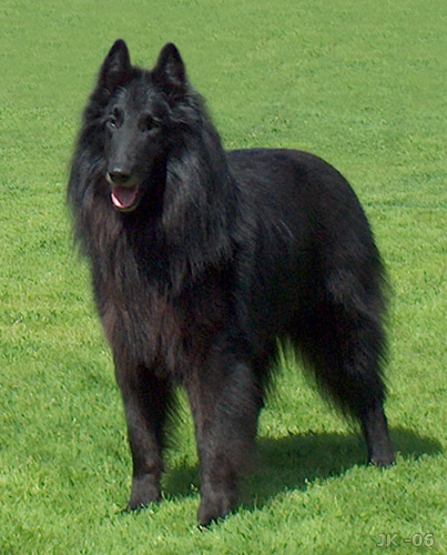 dogs: Belgian Shepherd Dog (Groenendael)