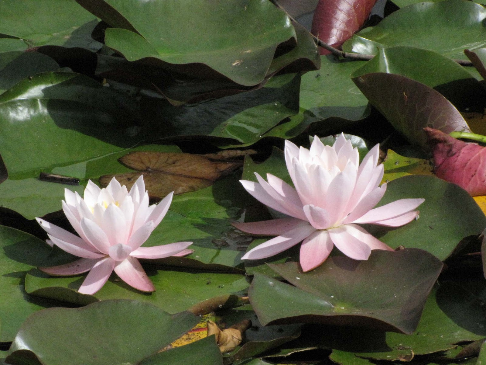 Ruth and johns travels bella coola august 2009 water lilies near clearwater bc izmirmasajfo