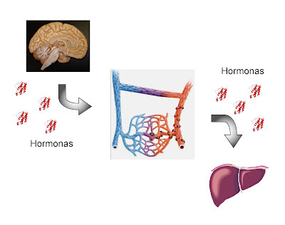 Las hormonas viajan en la sangre hasta el tejido diana