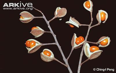 Bretschneidera Bretschneidera sinensis