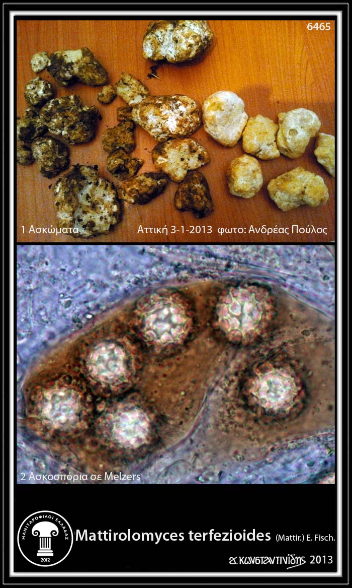 http://4.bp.blogspot.com/-yL2v1uwmYPc/UOsi1Wrp_ZI/AAAAAAABYSM/cVyrp7L6NrI/s1600/Mattirolomyces+terfezioides_1+(1).jpg