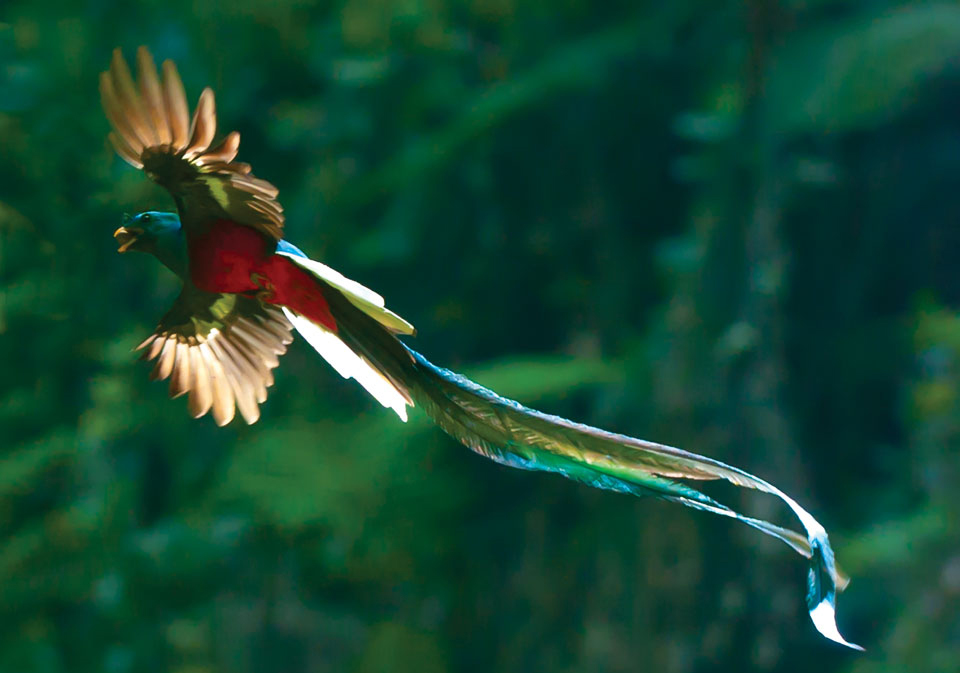 Quetzal Lovely FlyQuetzal In Flight