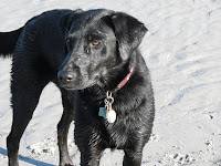 A picture of black lab cross, Maggie, friend of New England Pet Hospice