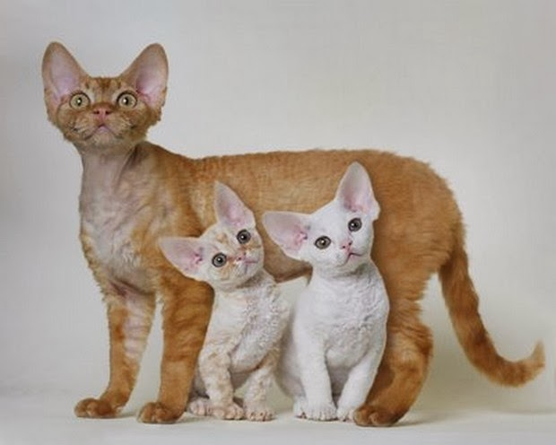 Cornish Rex Litter Size and Life Expectancy