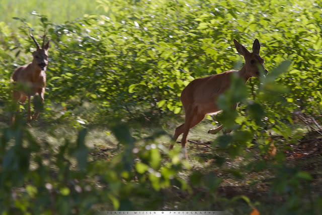 Bronstige Reebok achtervolgt Reegeit - Rut: Roe Deer buck chasing a female