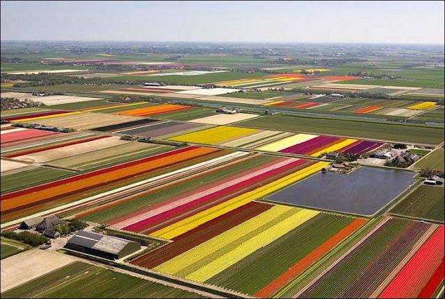 02 شهر مايو في هولندا  موسم حصاد زهور التوليب  جنة على الأرض